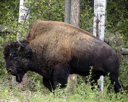 Elevage du palais - Coloriage bison d amerique ...